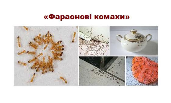 рижі мурахи Тернопіль
